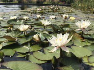 biobasen staw kąpielowy lilie
